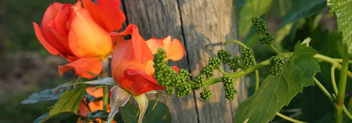 Nebbiolo Alto Piemonte - L'Uva e i Fiori